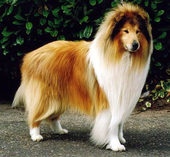 National Dog Show Rough Collie Winner